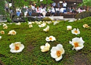 雨露にぬれた苔に、はかなく落ちた白いナツツバキの花(15日午前10時20分、京都市右京区・東林院)