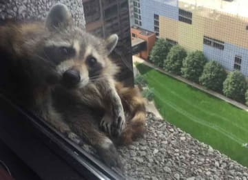 Skyscraper-Climbing Raccoon In St. Paul Is Safe - Internet Is Thrilled
