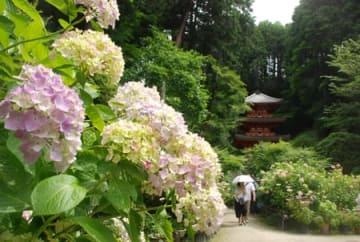 岩船寺の境内で競演するアジサイと三重塔(木津川市加茂町)