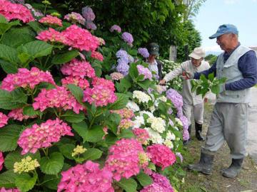 鹿嶋神社近くで今年も美しい花を咲かせたアジサイ。見頃は7月上旬までという(守山市立田町)