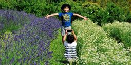 純白のカモミールと青紫のラベンダー。今年は同時に満開となり、香りの競演を楽しむことができる=パルシェ香りの館