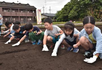 ポップコーン用のトウモロコシの種を植える子どもたち=結城市結城