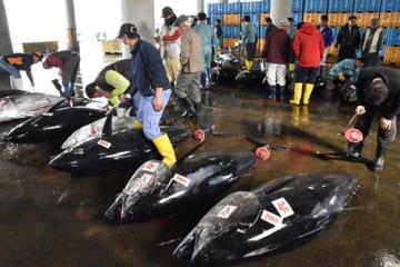 勝浦漁港にずらりと並んだクロマグロ。漁獲枠が減ることで漁業者の死活問題が懸念されている=4月3日、勝浦市