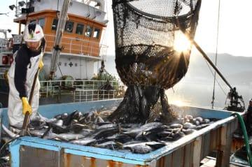 大船渡魚市場に今季初めて水揚げされたカツオ=24日、大船渡市