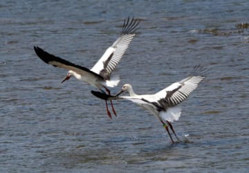 飛び立つコウノトリのひな=24日、島根県雲南市(同市教育委員会提供)