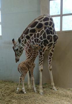 日立市かみね動物園で約4年ぶりに生まれたキリンの赤ちゃんと母親の「キリナ」=日立市宮田町(同動物園提供)