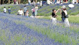 愛らしいラベンダーの花を観賞する家族連れ