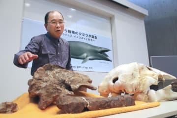約1500万年前に絶滅したクジラの新種と判明した骨の化石と、発見者の井上清和さん=26日午後、北海道足寄町