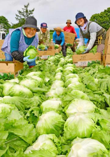 丸々と育ったレタスを収穫する高橋政一さんの家族ら=26日、一戸町中山