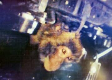 乗用車のボンネットの中から顔を出したサル=25日、愛知県清須市(同県警西枇杷島署提供)