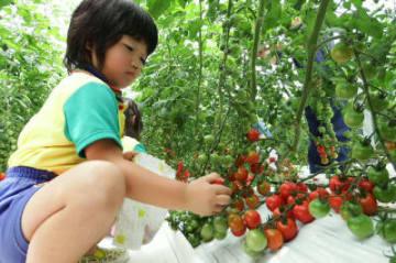 ミニトマトをもぎ取る園児=竹田市直入町長湯