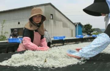 ゆでたカタクチイワシの稚魚を天日干しする従業員=杵築市守江の高橋水産