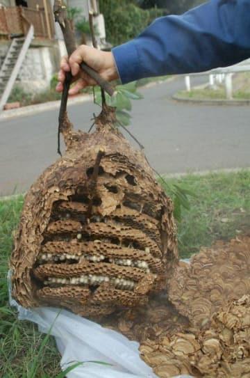 キイロスズメバチの巣(2006年撮影)