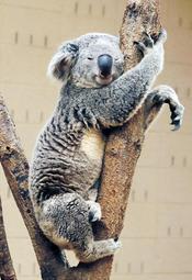 「ポールダンサー」の異名を持つピーター=14日午後、神戸市灘区王子町3、神戸市立王子動物園