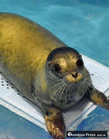 バックヤードのプールで休むゴマフアザラシの赤ちゃん=28日、青森市の浅虫水族館