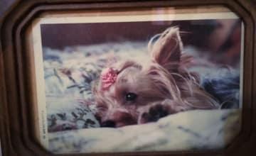愛犬 いぬ イヌ 犬 死別 ペットロス ヨークシャー テリア 写真 スナップ