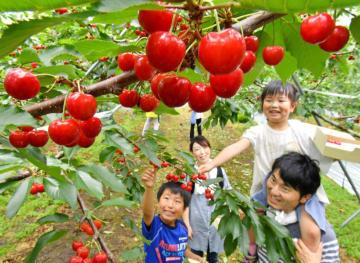 真っ赤に色づいたサクランボの収穫体験を楽しむ家族連れ=30日、二戸市米沢