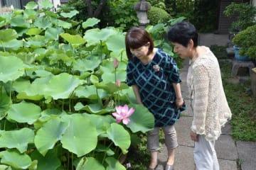 今年の一番花が咲いた印南蓮