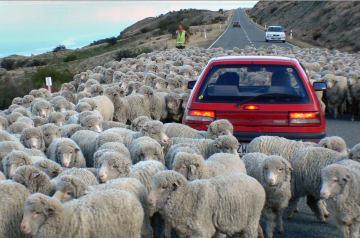 道路に羊などの家畜がいる場合は、減速するか、路肩に停車して通り過ぎるのを待つのがルールだ