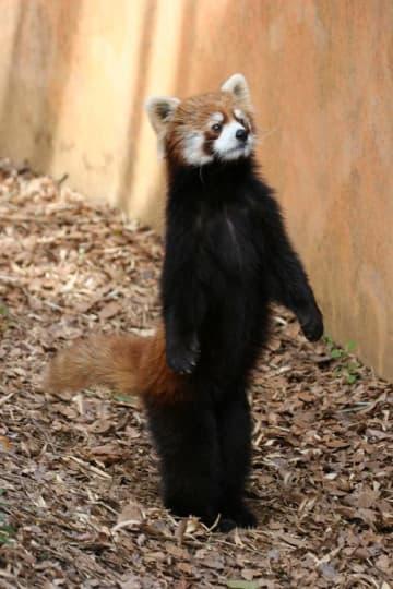 りりしい立ち姿で人気者になった「風太」(千葉市動物公園提供)