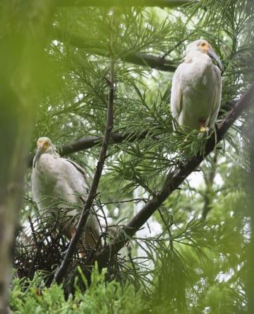 今年の繁殖期で最後に巣立ちが確認されたトキのひな=6日、新潟県佐渡市(環境省提供)