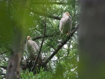 今季最後に巣立った2羽のトキ=6日、佐渡市(環境省提供)