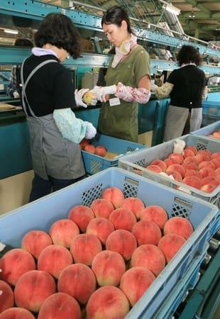 出荷を待つ取れたての桃。手際よく選果作業が進んでいた=9日、新潟市南区