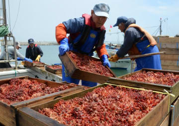 種市漁港に水揚げされる天然ホヤ