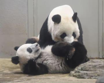 体重が30キロになったジャイアントパンダのシャンシャン。後ろは母親のシンシン=9日、東京・上野動物園(東京動物園協会提供)