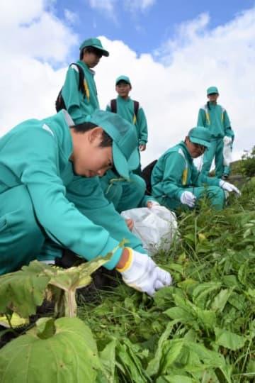 外来植物のセイヨウタンポポなどを摘み取る松尾中の生徒