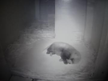 6月に誕生したレッサーパンダの赤ちゃん=佐世保市、森きらら(森きらら提供)