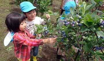 農園で食べごろのブルーベリー狩りを楽しむ園児たち
