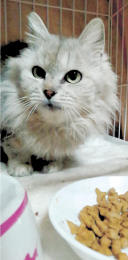 バトンタッチが保護した高齢猫。「猫エイズ」と呼ばれる猫免疫不全ウイルス(FIV)への感染を承知の上で、受け入れてくれる里親が現れた