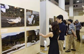 京都のネコたちの姿をとらえた岩合さんの作品に見入る来場者
