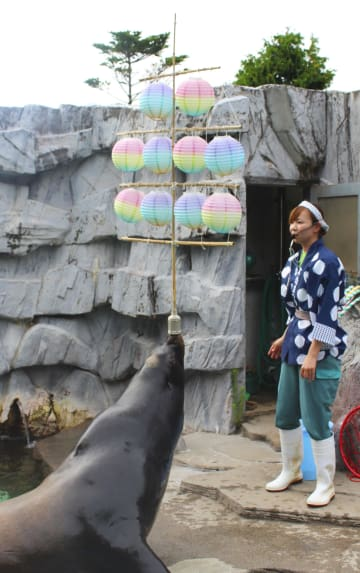 「竿灯」を鼻先で揚げるカリフォルニアアシカの「マヤ」=21日午後、秋田市の大森山動物園