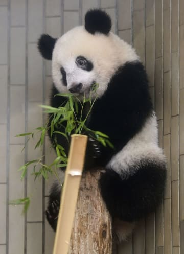竹の葉を口にするジャイアントパンダのシャンシャン=23日、東京・上野動物園(東京動物園協会提供)