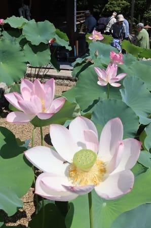 見頃を迎えたハスの花(25日午前10時ごろ、京都市右京区・法金剛院)