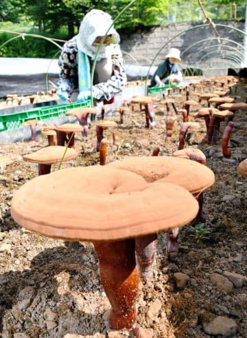 収穫期を迎えた「みやま霊芝」=7月24日、福井県福井市西中町