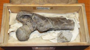 大型哺乳類「パレオパラドキシア」と判明した化石=26日、茨城県つくば市