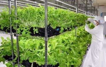 舟入市場が野菜工場で生産している水菜(上段)とリーフレタス(下段)