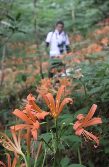 多良岳の山中で、ヒガンバナ科のオオキツネノカミソリが見ごろを迎えた。オレンジ色のかれんな花が群生している