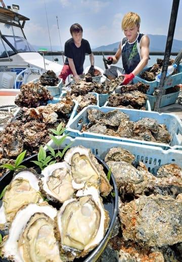 素潜り漁が最盛期を迎え、次々と水揚げされる天然岩ガキ=7月26日、福井県おおい町大島