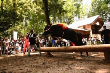 勢いよく丸太を跳び越える牛=28日午前、えびの市・菅原神社