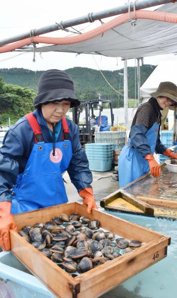 「広田湾産イシカゲ貝」の出荷に向けて選別作業をする生産者