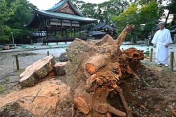台風12号によって根元から倒れたクロマツ(29日午後7時、京都市北区・今宮神社)
