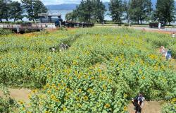 湖岸道路沿いの休耕畑で開催されている「おいで野洲ひまわり迷路」(野洲市吉川)