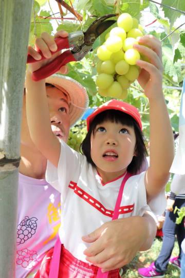 シャインマスカットの収穫を体験する園児=松浦市星鹿町