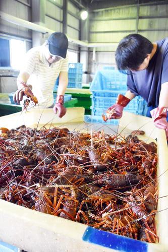 高級食材として定評のある大原のイセエビ。初水揚げの2日は早朝からにぎわった=いすみ市の大原漁港