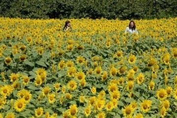 5万本のヒマワリが咲く迷路を進む女性客=宇城市