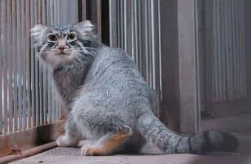 旭山動物園で飼育を始めたマヌルネコのグルーシャ